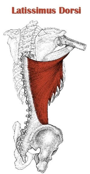 latissimus dorsi: One of the most powerful sprinting muscle. Learn the power of arm drive for sprinting success.